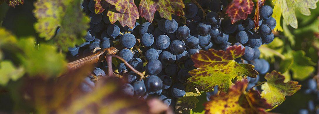 struguri de poama pentru vin rosu